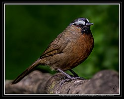 The Nilgiri Laughingthrush.jpg