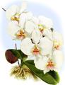 The Orchid Album-01-0035-0011-Phalaenopsis amabilis dayana-crop.png