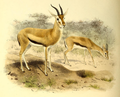 The book of antelopes (1894) Gazella rufifrons.png