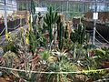 The cactus collection at Manor Nurseries (3425123086).jpg