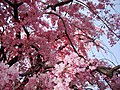 The cherry blossoms in the park in front of the Diet Building - panoramio.jpg