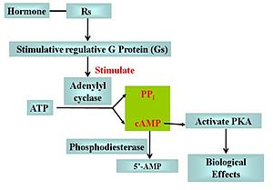 G protein–coupled receptor - The effect of Rs and Gs in cAMP signal pathway