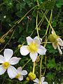 The flower of Anemone vitifolia.jpg