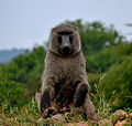 The king baboon - Flickr - askmeaks.jpg