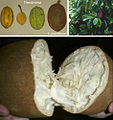 Theobroma fruits and Theobroma grandiflorum tree and fruits.jpg