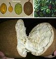 Theobroma fruits and Theobroma grandiflorum tree and fruits.jpg