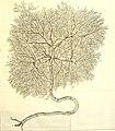 Theodori Kerckringii, Doctoris medici Opera omnia anatomica - continentia Specilegium anatomicum, Osteogeniam foetuum, nec non Anthropogeniae ichnographiam - accuratissimis figuris aeri incisis (14594950870).jpg