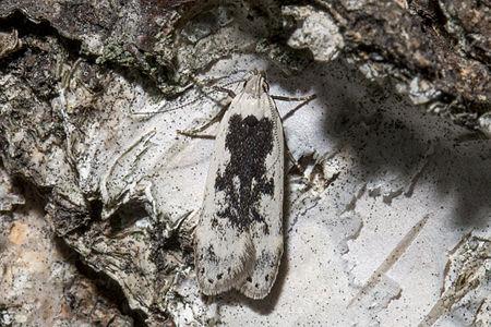Thiotricha subocellea, Lodz(Poland)05(js).jpg