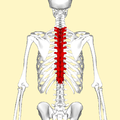 Thoracic vertebrae back2.png