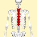 Thoracic vertebrae back2.png