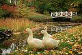 Three white domesticated ducks in Brekkeparken.jpg