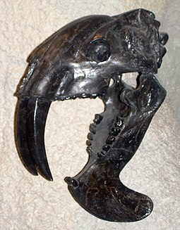 Skull cast mounted with open jaws, North American Museum of Ancient Life Thylacosmilus atrox skull.JPG
