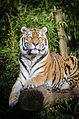 Tiger (16420997237).jpg