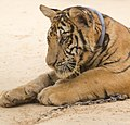 Tiger Temple (6031881553).jpg