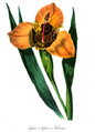 Tigridia Conchiflora Watkinsoni.png