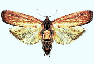 Tirathaba rufivena - Image: Tirathaba rufivena (ento csiro au) cropped