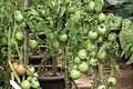 Tomato aka Lycopersicon esculentum at lalbagh7443.JPG