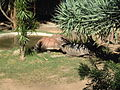 Tortoise @ Sydney Zoo (1149008519).jpg