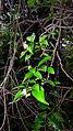 Tournefortia bicolor Sw. (16228680422).jpg