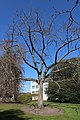 Toxicodendron vernicifluum in winter.jpg
