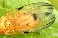 Toxoneura.quinquemaculata9.-.lindsey.jpg