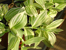 Tradescantia wikipedia la enciclopedia libre for Plantas ornamentales wikipedia
