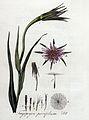 Tragopogon porrifolium — Flora Batava — Volume v4.jpg