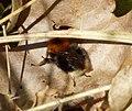 Tree Bee. Bombus hypnorum (33709480211).jpg