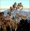 Tree and Peak, Caroline Park, Redlands, CA 12-30-12 (8377750236).jpg