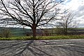 Tree near Burnhopeside Hall - geograph.org.uk - 397350.jpg