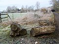 Tree trunks near Tarrant Crawford - geograph.org.uk - 1690790.jpg