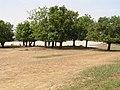 Trees, species unknown, in Burkina Faso, 2009.jpg