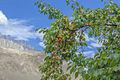Trees of Apricots in Machlu Village.jpg