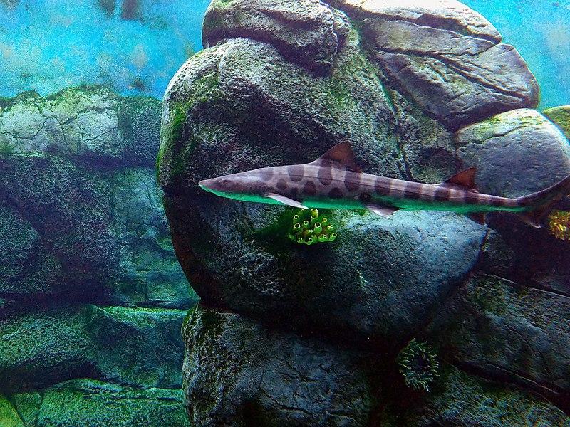 File:Triakis semifasciata at San Diego Zoo Africa Rocks 01.jpg