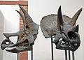 Triceratops 2 Skulls Senckenberg.jpg