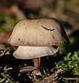 Tricholoma terreum, Hartelholz, Múnich, Alemania, 2020-11-14, DD 140-194 FS.jpg