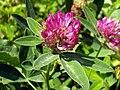 Trifolium medium eF.jpg