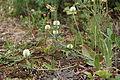 Trifolium montanum IMG 8830 bakkeklöver hovedöya.JPG