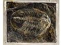 Trilobite Glossopleura mckeei 1724 (a7ae697b-249f-4944-a7d6-e807330e7c0b).jpg