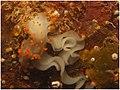 Triopha catalinae y puesta.jpg