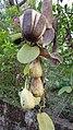 Troides minos- southern birdwing-Larva on Aristolochia indica.jpg