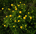 Trollius europaeus - flowers and leaves 01.jpg