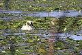Trumpeter Swan (36133791515).jpg