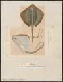 Trygon pastinaca - 1700-1880 - Print - Iconographia Zoologica - Special Collections University of Amsterdam - UBA01 IZ14200089.tif