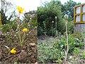 Tulpia sylvestris Blüte und Frucht.jpg