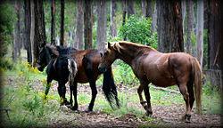 Tumbarumba Brumby group.jpg