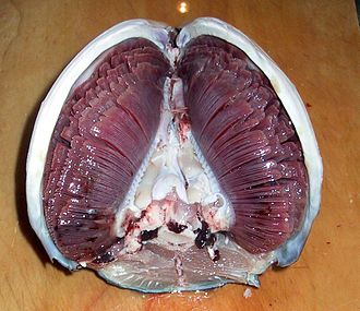 Fish - Tuna gills inside the head. The fish head is oriented snout-downwards, with the view looking towards the mouth.