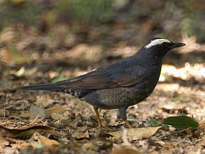English: Siberian Thrush Zoothera sibirica 日本語...