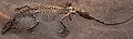 TurfanosuchusDabanensis-PaleozoologicalMuseumOfChina-May23-08.jpg