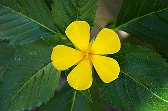 Turnera ulmifolia - Image: Turnera ulmifolia 01